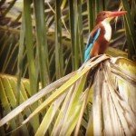 @instagram: #kingfisher #goa #benaulim
