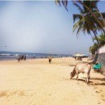 @instagram: Cows roam the beaches here