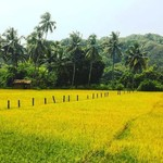 @instagram: Canacona rice ???????? #goa #agonda #palolem #riceplantation #weekend #dayoff #india #rest